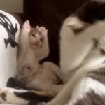 母猫の真似をする子猫がカワイイ