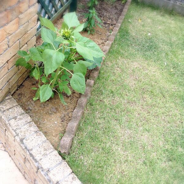 ハムスターが死んだので土に埋めたらヒマワリが咲いた!